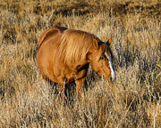 Wildlife Refuge Photos - Chincoteague Pony by Bill Swindaman