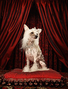 Tiara Framed Prints - Chinese Crested Dog Wearing Tiara Sitting On Red Cushion Framed Print by Karen Moskowitz