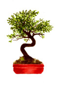 Bonsai Tree Posters - Chinese Elm Bonsai Tree Poster by Michael Vigliotti