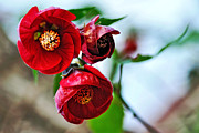 Mallow Photos - Chinese Lantern - Abutilon by Kaye Menner