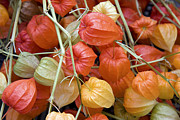 Vibrant Color Art - Chinese lantern flowers by Jane Rix