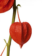 Japanese Lantern Prints - Chinese Lantern (physalis Alkekengi) Print by Johnny Greig