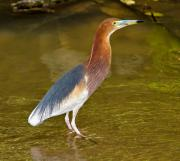Wading Bird Photos - Chinese Pond Heron by Louise Heusinkveld