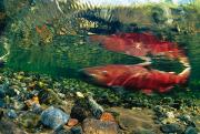 Chinook Salmon Prints - Chinook Salmon Swimming Up Spawning Print by Michael S. Quinton
