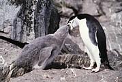 Chinstrap Penguin Feeding Chick Print by Doug Allan