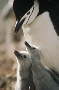 Animal Behavior Metal Prints - Chinstrap Penguin Pygoscelis Antarctica Metal Print by Tui De Roy