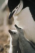 Chinstrap Penguin Pygoscelis Antarctica Print by Tui De Roy