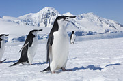 Mar2713 Art - Chinstrap Penguins  Antarctic Penninsula by Flip Nicklin