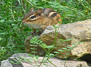 Chipmunk Photograph Posters - Chip On The Rocks Poster by Debra     Vatalaro