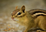 Eastern Chipmunk Photos - Chipmunk by Aubrey Alkenbrack