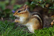 Eastern Chipmunk Photos - Chipmunk by Bruce J Robinson