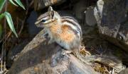 Chipmunk Photos - Chipmunk by David  Naman