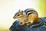 Small Animals Posters - Chipmunk Poster by Elena Elisseeva