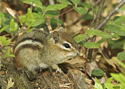 Eastern Chipmunk Photos - Chipmunk by Michael Peychich