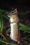 Chipmunk Photos - Chipmunk on Alert by Karol  Livote
