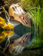 Tree Reflection Posters - Chipmunk Reflection Poster by Bob Orsillo