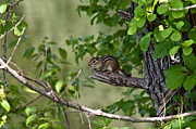 Ron Smith Metal Prints - Chipmunk Metal Print by Ron Smith