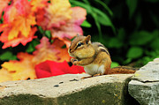 Sitting On Rock Prints - Chipmunk Sitting On Rock Print by H .H. Fox Photography
