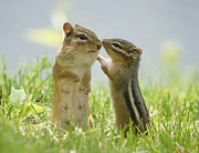 Animal Themes Prints - Chipmunks In Grasses Print by Corinne Lamontagne