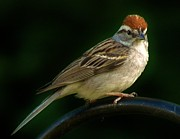 Chipping Sparrow Posters - Chipping Sparrow Poster by Earl Williams Jr