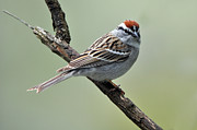 Chipping Sparrow Posters - Chipping Sparrow Poster by Laura Mountainspring
