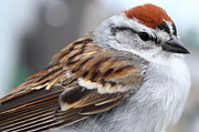 Chipping Sparrow Posters - Chipping Sparrow Portrait Poster by Deanna Wright