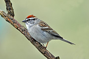 Chipping Sparrow Prints - Chipping Sparrow Profile Print by Laura Mountainspring