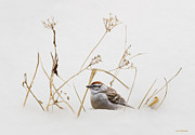 Sparrow Prints - Chipping Sparrow Print by Ron Jones