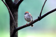 Chipping Sparrow Posters - Chipping Sparrow Poster by Thomas R Fletcher