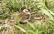 Chipping Sparrow Posters - Chipping Sparrow Poster by Yumi Johnson