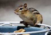Chipmunk Photos - Chippy by Karol  Livote
