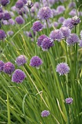 Allium Schoenoprasum Prints - Chive Flowers (allium Schoenoprasum) Print by Bob Gibbons