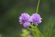 Flower Flowers Chives Garden Herbs Herb Garden Prints - Chive Flowers Print by Marilyn Wilson