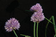 Allium Schoenoprasum Prints - Chives 1 Print by Douglas Barnett