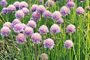 Chives Framed Prints - Chives (allium Schoenoprasum) Framed Print by Adrian Thomas