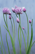 Allium Schoenoprasum Prints - Chives (allium Schoenoprasum) Print by Maxine Adcock
