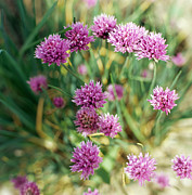 Allium Schoenoprasum Prints - Chives Print by David Munns