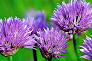 Chives Framed Prints - Chives in Bloom Framed Print by Thomas R Fletcher