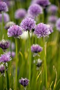 Chives Framed Prints - Chives, In Flower (allium Schoenoprasum) Framed Print by Bob Gibbons