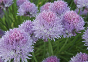 Flower Flowers Chives Garden Herbs Herb Garden Prints - Chives Print by Michael Peychich
