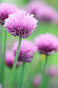 Allium Schoenoprasum Prints - Chives Print by Neil Overy