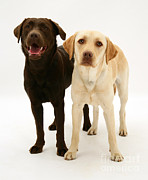 Chocolate Lab Photos - Chocolate And Yellow Labrador Retrievers by Mark Taylor