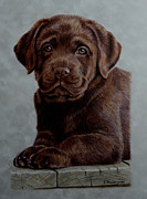 Labrador Retrievers Drawings - Chocolate Baby by Debbie Stonebraker