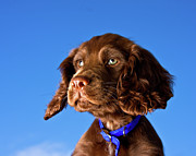 Pet Collar Posters - Chocolate Brown Cocker Spaniel Puppy Poster by Andrew Davies