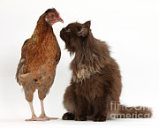 House Pets Posters - Chocolate Cat And Chicken Poster by Mark Taylor