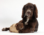 House Pets Posters - Chocolate Cocker Spaniel Pup Poster by Mark Taylor