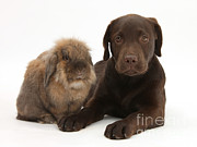 Chocolate Lab Photos - Chocolate Lab & Lionhead-cross Rabbit by Mark Taylor