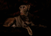 Canine Metal Prints - Chocolate Lab Dog Metal Print by Christine Till