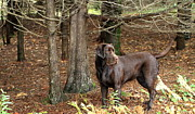 Chocolate Labrador Retreiver Prints - Chocolate Lab Print by Gord Patterson