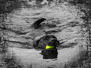 Water Retrieve Posters - Chocolate Lab Poster by Ms Judi